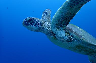 宮古島おすすめの過ごし方  IMAGE02(ウミガメ IMAGE)